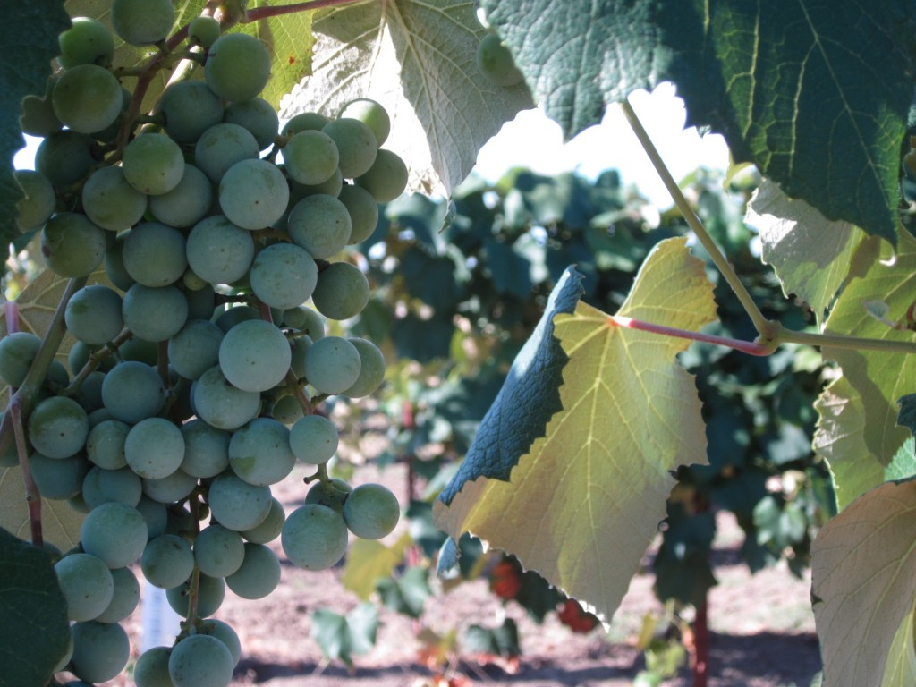 Grapes growing near hotel in Yakima Valley